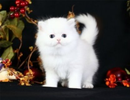 Charming Xmas Male And A Female Persian Kittens For Your Kids No
