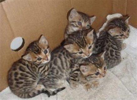 3 Lovely Savanah kittens for re-homing