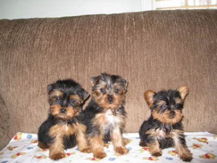 CKC TEA CUP YORSHIRE TERRIER PUPPIES 8 WEEKS OLD
