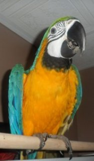 Lovely Pairs Of Talking Parrots For Adoption