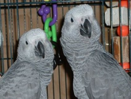 Interligent healthy African gray parrot for sale