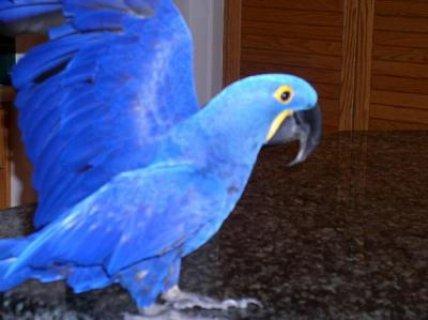 Intelligent Hyacinth Macaw For Sale دبي - 17281