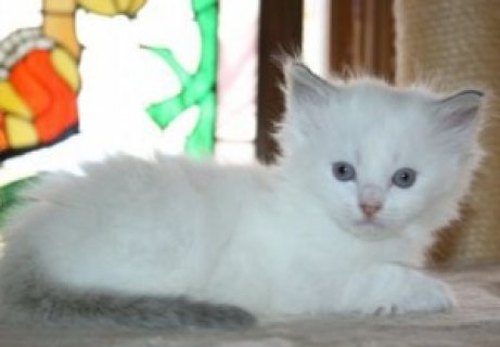 صور Playful Persian Kittens For New Homes,, 1