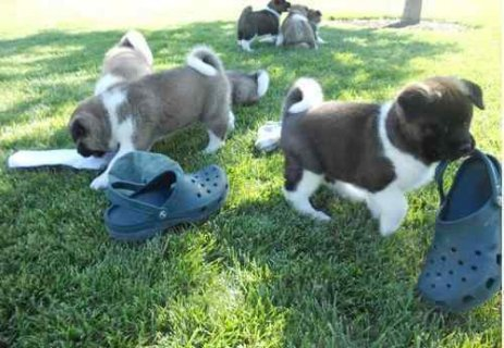 Male and female akita puppies ready to go