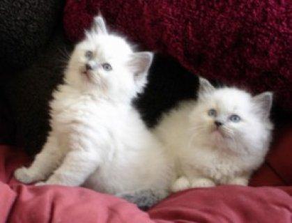 Pedigree Ragdoll Kittens4352