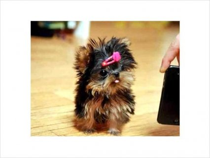 Gorgeous Teacup Yorkie puppies Available qe