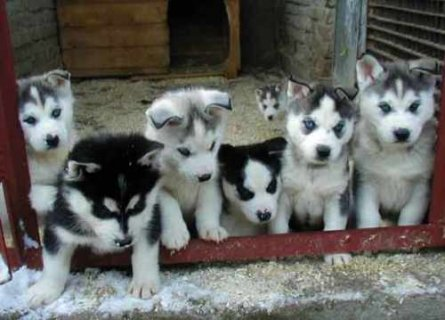 AKC Siberian Huskies, available only to loving, permanent homes