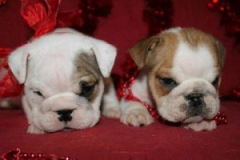 Tackle Male and Female English Bulldog Puppies For Sale