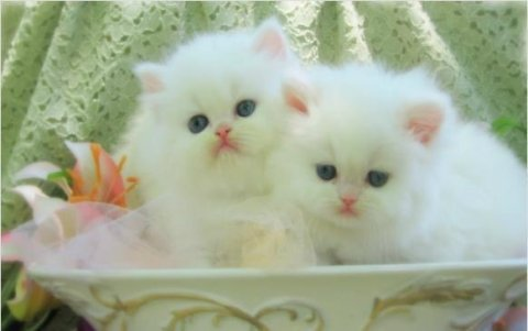 cute  persian kittens males and females for sale.(لطيف القطط الف