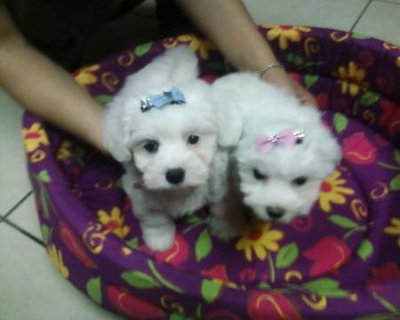 TITI Teacup Maltese Puppies for Rehoming