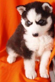 Well Trained Siberian Husky Puppies