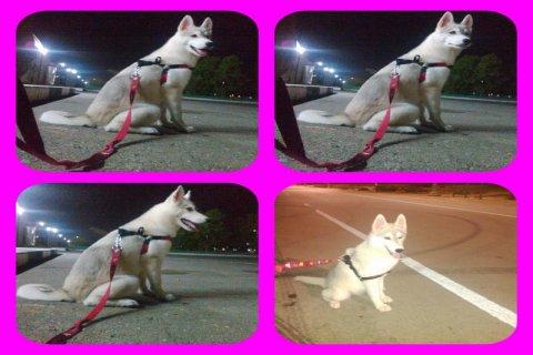 husky 8 months