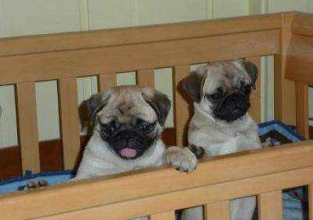 lovely pug puppies for adoption