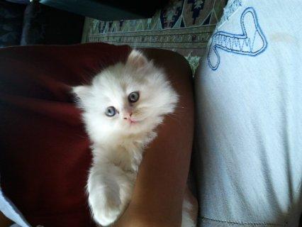 قطه صغيره ابييض
