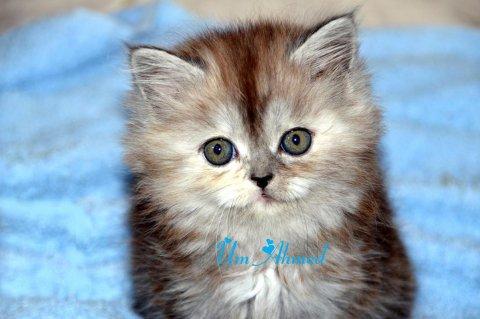 للبيع قطة شيرازي روعة