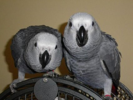 African Grey parrots Needs a New Home