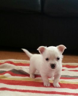 صور White Tea chihuahua puppies Male and Female for sale 2