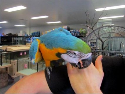 BLUE AND GOLD MACAW PARROTS VERY FRIENDLY