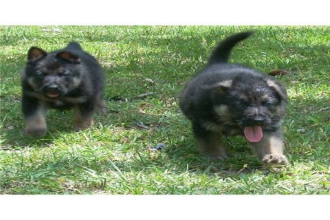 Two German shepherd puppies for adoption21