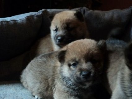 Super Shiba Inu Puppies for AdoptionSx