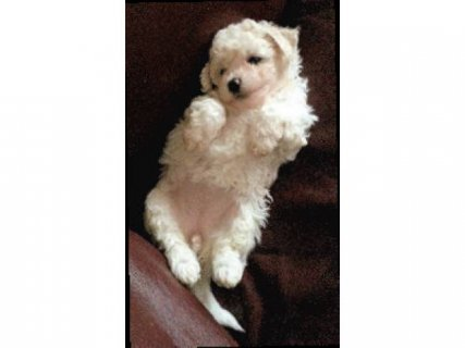 BICHON FRISE PUPS AVAILABLE