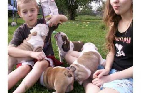 صور beautiful and super nice English bulldog puppies 1