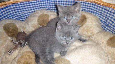 quality brish shorhair  kittens ready