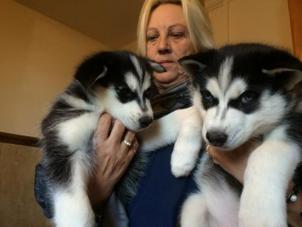 Alert And Healthy Siberian Husky Puppies