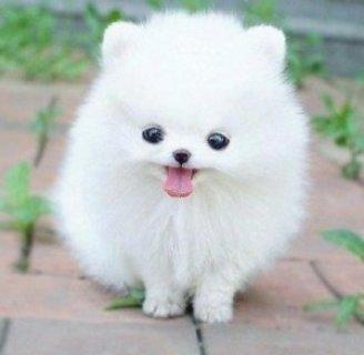 tiny  Pomeranian Puppies for Adoption
