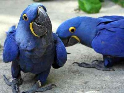 I have a pair of two hyacinth macaw parrots
