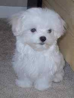 Registered Maltese Puppies for sale with all Documents at Mahala