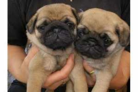 We have both male and female pug puppies for adoption