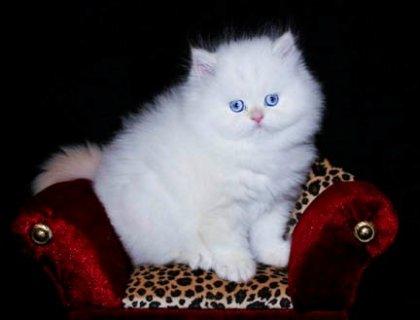 قدح الشاي مذهلة القطط الفارسية جاهزة للبيع