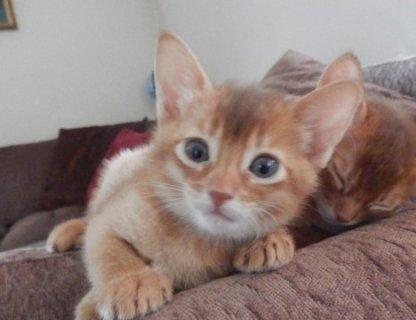 القطط الحبشي - منخفضة التكلفة، وأفضل نوعية