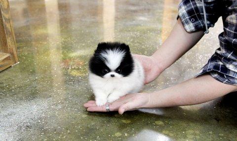 Cream and Yellow Pomeranian puppies