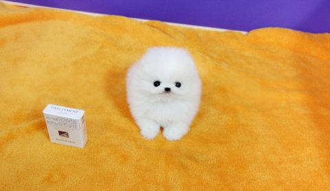 صور Cream and Yellow Pomeranian puppies 2