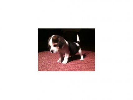 beagle puppies pure bred view parents