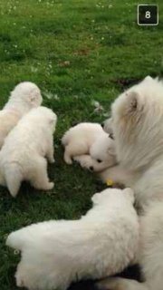 Top Class Samoyed Puppies For Sale