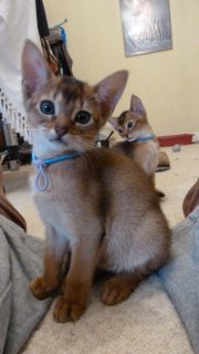 Lovely Pedigree Abyssinian Kittens!!