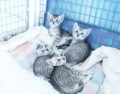 صور Beautiful Pedigree Egyptian Mau Kittens For Sale 1
