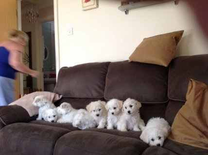 Ready Now. Kc Reg. Bichon Frise Puppies