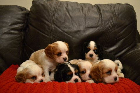 Kc Reg Cavalier King Charles Spaniel Puppies