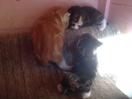 Pedigree -maine Coon Babies Ready NOW