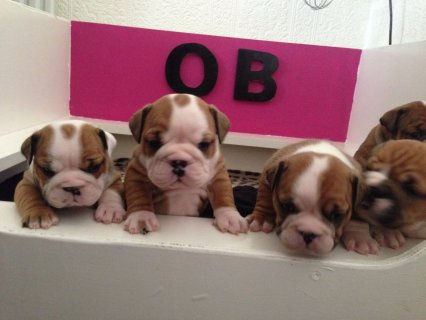 Brave Stunning English Bulldog Puppies