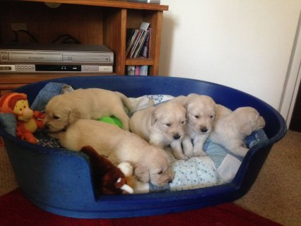 Pedigree Golden Retriever Puppies for adoption