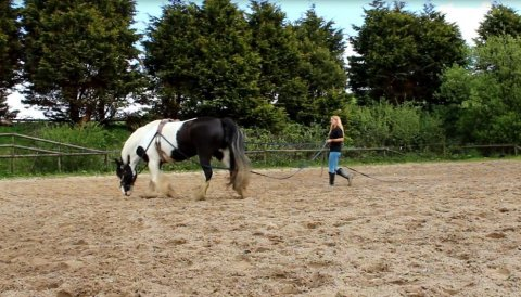 Gypsy Horse cob X Dales - Lovely Temprement