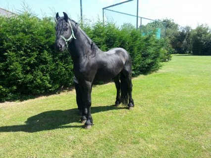 15.3hh Friesian Ride And Drive Stallion