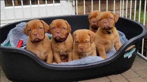 Ready True To Type Kc Registered Dogue De Bordeaux Puppies Ready