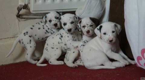 Beautiful Gorgeous Pedigree Dalmatian Puppies Adoption