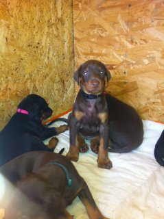 Doberman Puppies For Sale.